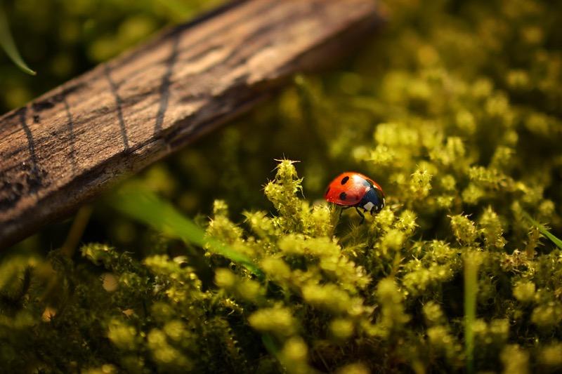[Spring Ladybug]